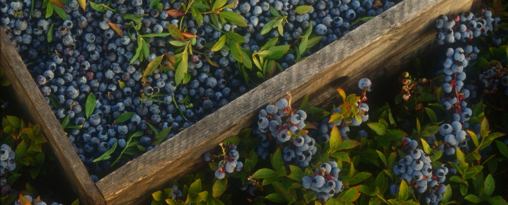 Wild Blueberries in crate